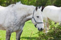 Close up of an arabian grey horse Royalty Free Stock Photos