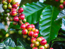 Close up arabica coffee beans. With leaf get ripening on a tree Stock Photo
