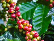Close up arabica coffee beans Stock Photo