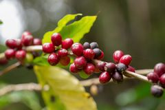 Close up, Arabica coffee berrys ripening on tree in North of tha. Iland Royalty Free Stock Photography