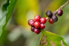 Close up, Arabica coffee berrys ripening on tree in North of tha. Iland Stock Images