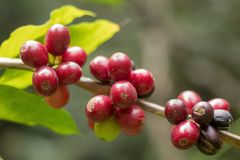 Close up, Arabica coffee berrys ripening on tree in North of tha. Iland Royalty Free Stock Photo