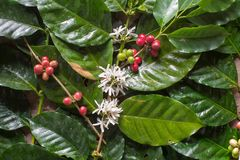 Close up, Arabica coffee berrys ripening on tree in North of tha. Iland Stock Photos