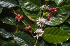 Close up, Arabica coffee berrys ripening on tree in North of tha. Iland Royalty Free Stock Images