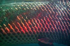Close up of Arapaima fish skin or Arapaima gigas.  Stock Photography