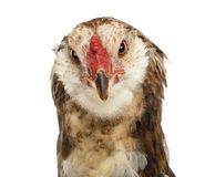 Close-up of an Araucana, 5 months old. Against white background Stock Photo