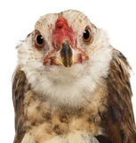 Close-up of an Araucana, 5 months old, looking. At camera against white background Royalty Free Stock Image