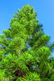 Close-up of araucaria. Close-up beautiful image of green prickly branches of Araucaria heterophylla Stock Photos