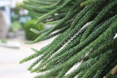 Araucaria tree. Close up of Araucaria tree leaves Stock Photos