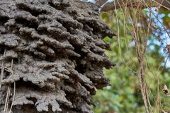 Close up of an arboreal termite nest in a Cashew tree in the Rupununi Savannah of Guyana. Close up of an arboreal airel dwelling termite nest in a Cashew tree in stock photos