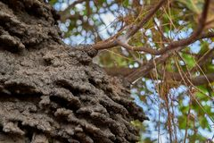 Close up of an arboreal termite nest in a Cashew tree in the Rupununi Savannah of Guyana stock image