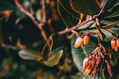 Close-up of arbutus unedo flowers. In nature Stock Image