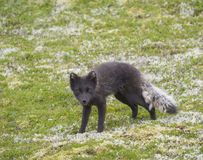 Close up arctic fox Alopex lagopus beringensis portrait curiously looking to the camera standing on green grass stock image