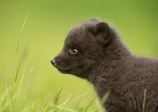 Close-up of Arctic Fox cub Royalty Free Stock Photography