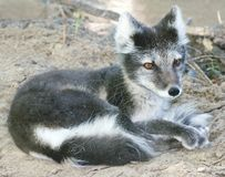 Close-up of Arctic fox resting Royalty Free Stock Image