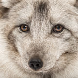 Close-up of a Arctic fox, Vulpes lagopus Royalty Free Stock Photography