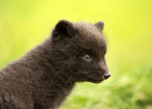 Close up of Arctic fox Vulpes lagopus cub Royalty Free Stock Photos