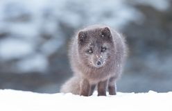 Close up of an Arctic fox in winter. Iceland royalty free stock image