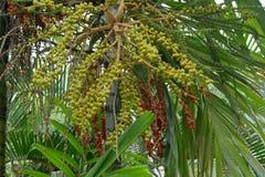 Areca nut of tropical palm tree. Close up of the Areca nut of tropical palm tree Royalty Free Stock Image
