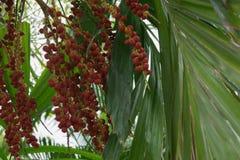 Areca nut of tropical palm tree. Close up of the Areca nut of tropical palm tree Royalty Free Stock Photo