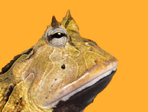 Close-up of an Argentine Horned Frog's profile, Ceratophrys ornata Stock Photography