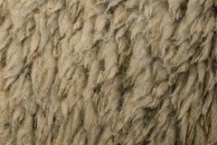 Close-up of Arles Merino sheep wool Royalty Free Stock Photos