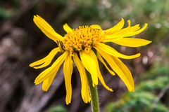 Close up of Arnica Montana flower Royalty Free Stock Images
