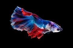 Close up art movement of Betta fish or Siamese fighting fish stock photos