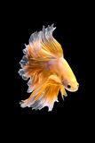 Close up art movement of Betta fish Royalty Free Stock Photography