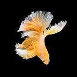 Close up art movement of Betta fish Stock Image