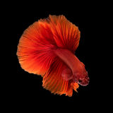 Close up art movement of Betta fish Stock Photography
