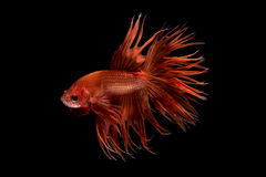 Close up art movement of Betta fish Royalty Free Stock Photos