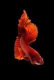 Close up art movement of Betta fish Royalty Free Stock Photo