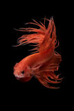 Close up art movement of Betta fish Royalty Free Stock Image