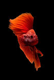 Close up art movement of Betta fish Royalty Free Stock Images