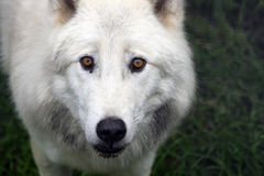 Close up of a artic wolf. Close up of a artic male wolf stock photo