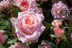 Close up of artificial pink rose for decoration garden Stock Images