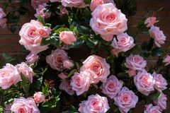 Close up of artificial pink rose for decoration garden Stock Photo