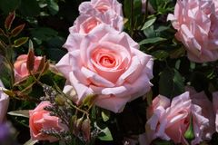 Close up of artificial pink rose for decoration garden Royalty Free Stock Image