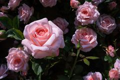 Close up of artificial pink rose for decoration garden Royalty Free Stock Photo
