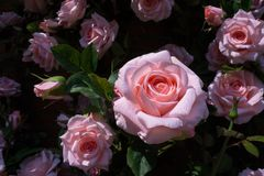 Close up of artificial pink rose for decoration garden Royalty Free Stock Photography