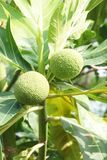 Artocarpus altilis fruit. Close up Artocarpus altilis fruit in the tropical garden Stock Photo