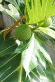Artocarpus altilis fruit. Close up Artocarpus altilis t in the tropical garden Stock Photos