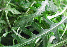 Close up of arugula. Or rocket leaves in a bowl stock image