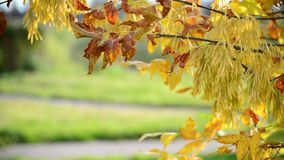 Close up of ash tree yellow leaves in autumn stock footage