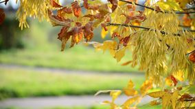 Close up of ash tree yellow leaves in autumn stock video