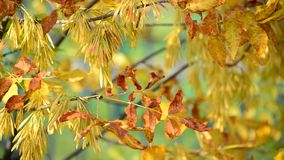Close up of ash tree yellow leaves in autumn. Close up of an ash tree yellow leaves in autumn stock footage