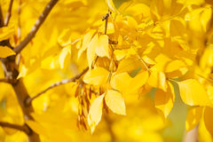 Close up of ash tree yellow leaves in autumn Stock Images
