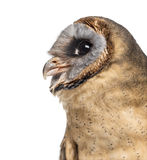 Close-up of an Ashy-faced owl (Tyto glaucops) Stock Photography