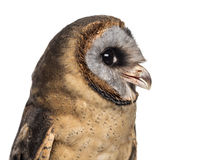 Close-up of an Ashy-faced owl (Tyto glaucops) Stock Images